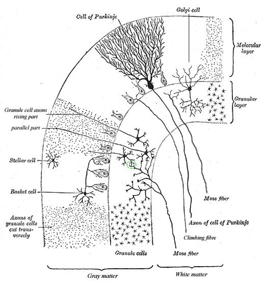 neurologie  cerebellum of kleine hersenen